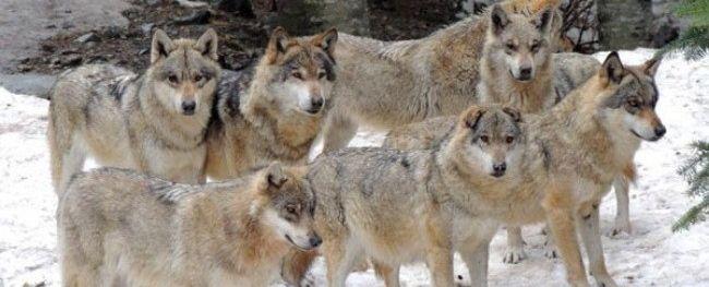 La meute de loup du parc animalier alpes maritimes